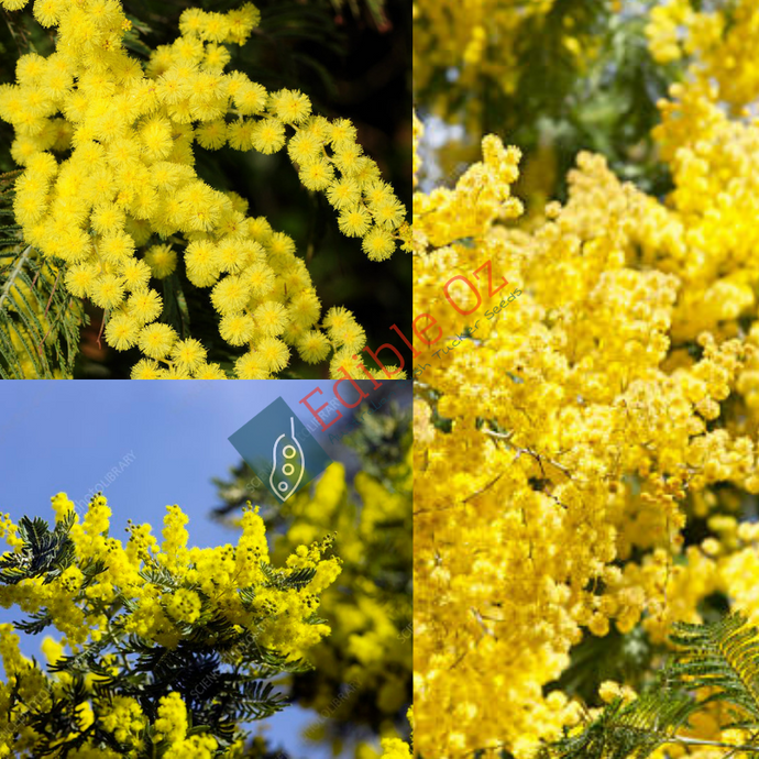 'MIMOSA' SILVER WATTLE (Acacia dealbata) SEEDS 'Bush Tucker Plant'