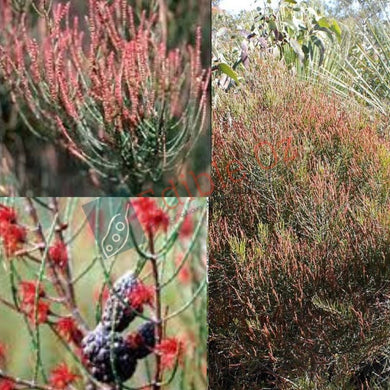 Slaty She Oak (Allocasuarina muelleriana) SEEDS 'Bush Tucker Plant'