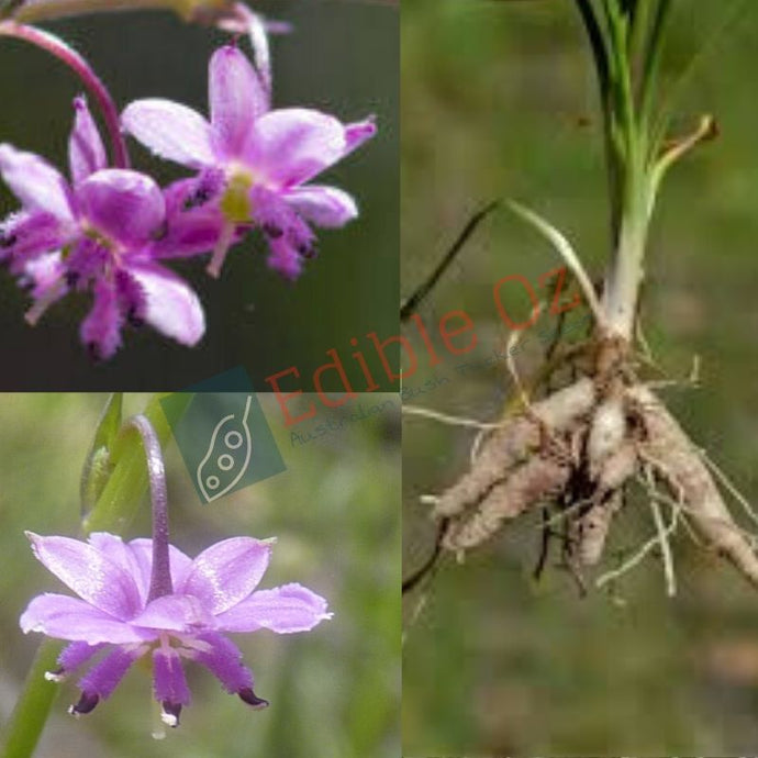 SMALL VANILLA LILY (Arthropodium minus) SEEDS 'Bush Tucker Plant'