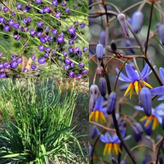 SMOOTH FLAX-LILY (Dianella longifolia) SEEDS 'Bush Tucker Plant'