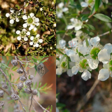 JELLY BUSH 'TANTOON' YELLOW TEA-TREE (Leptospermum Polygalifolium subsp. polygalifolium) SEEDS 'Bush Tucker Plant'