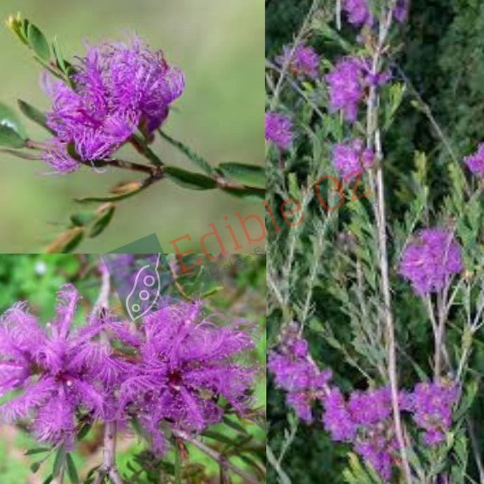 THYME HONEY-MYRTLE (Melaleuca thymifolia) SEEDS 'Bush Tucker Plant'