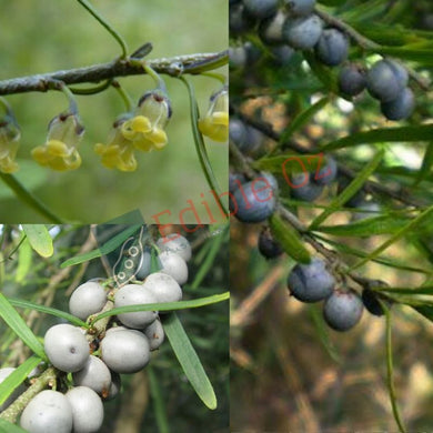 TREE VIOLET (Melicytus dentatus) SEEDS 'Bush Tucker Plant'