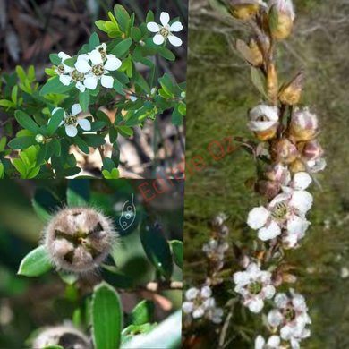 MOUNTAIN/WOOLLY TEA-TREE (Leptospermum grandifolium) SEEDS 'Bush Tucker Plant'