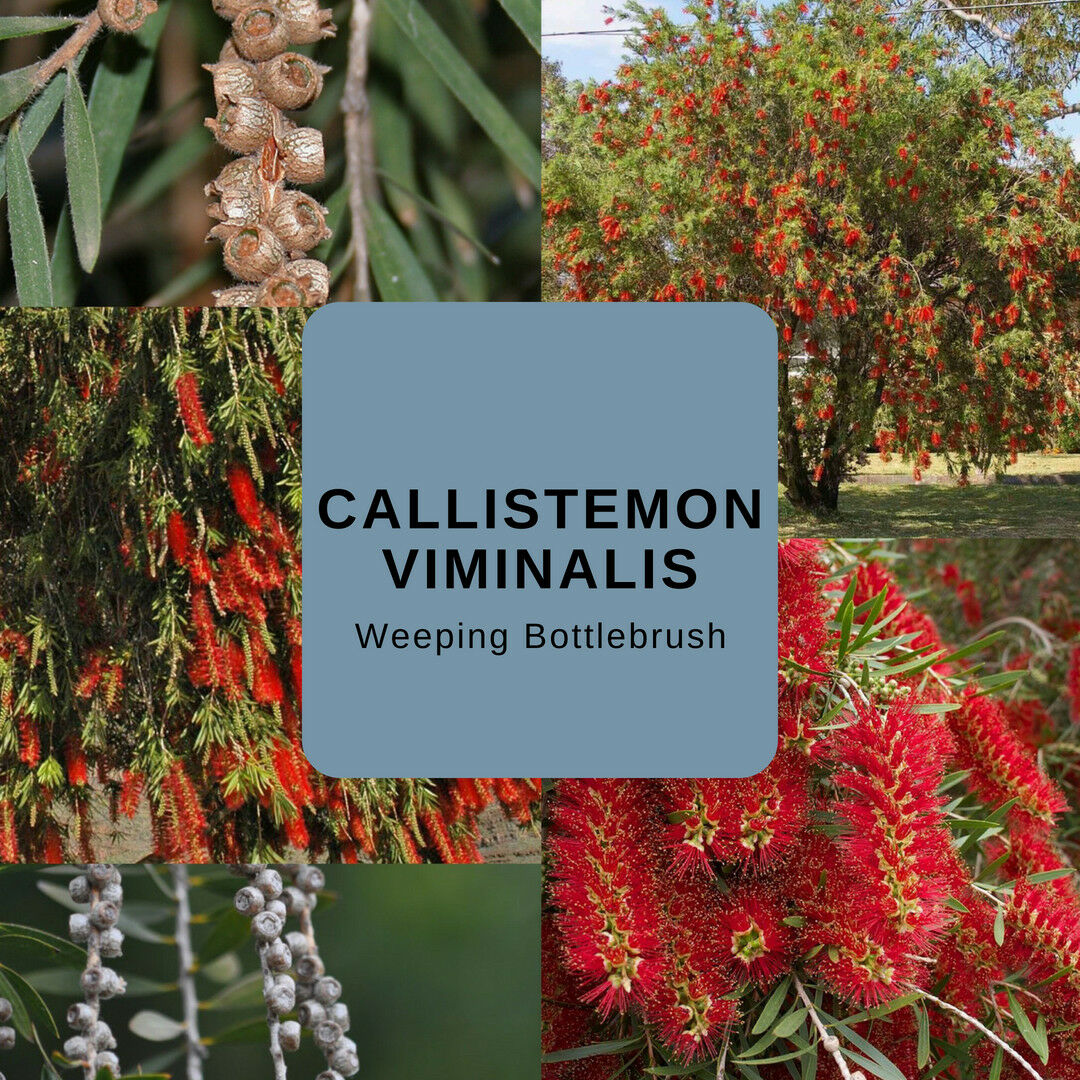 "Callistemon Viminalis ""Weeping Bottlebrush"" -Buy In Bulk-Seeds"
