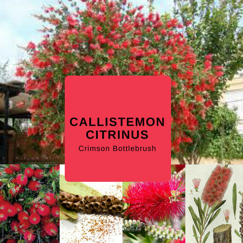 "Callistemon Citrinus ""Crimson Bottlebrush"" - EDIBLES - Seeds (1000)"
