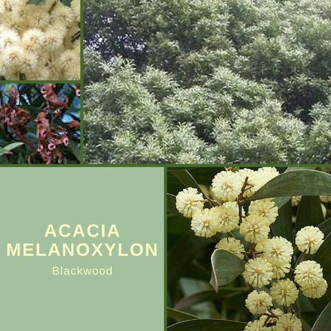 "Acacia Melanoxylon ""Blackwood"" Seeds"