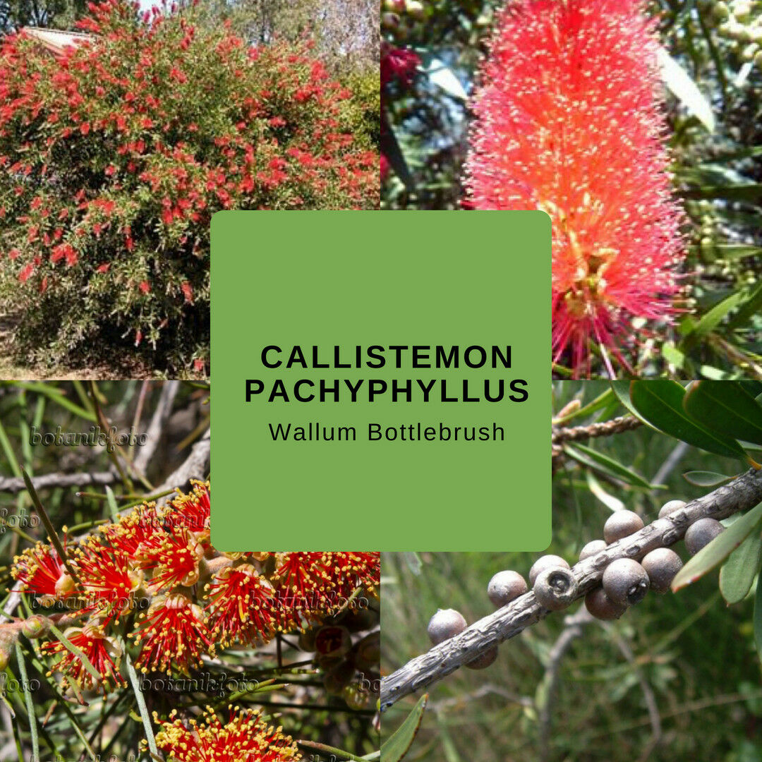 "Callistemon Pachyphyllus ""Wallum Bottlebrush"" 1000+ Seeds"