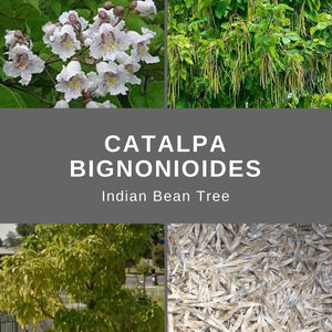 "Catalpa Bignonioides ""Indian Bean Tree"" Seeds"
