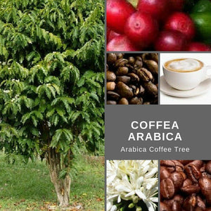 "Coffea Arabica ""Arabica Coffee Tree"" -Edibles- Seeds"