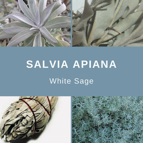 "Salvia Apiana ""White Sage"" - 25 Seeds"