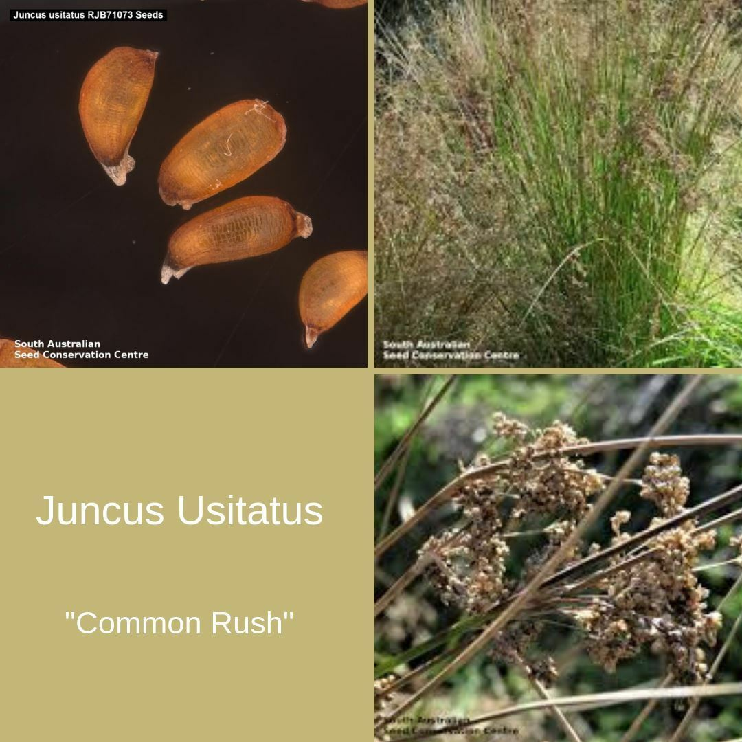 "Juncus Usitatus ""Common Rush"" Seeds"