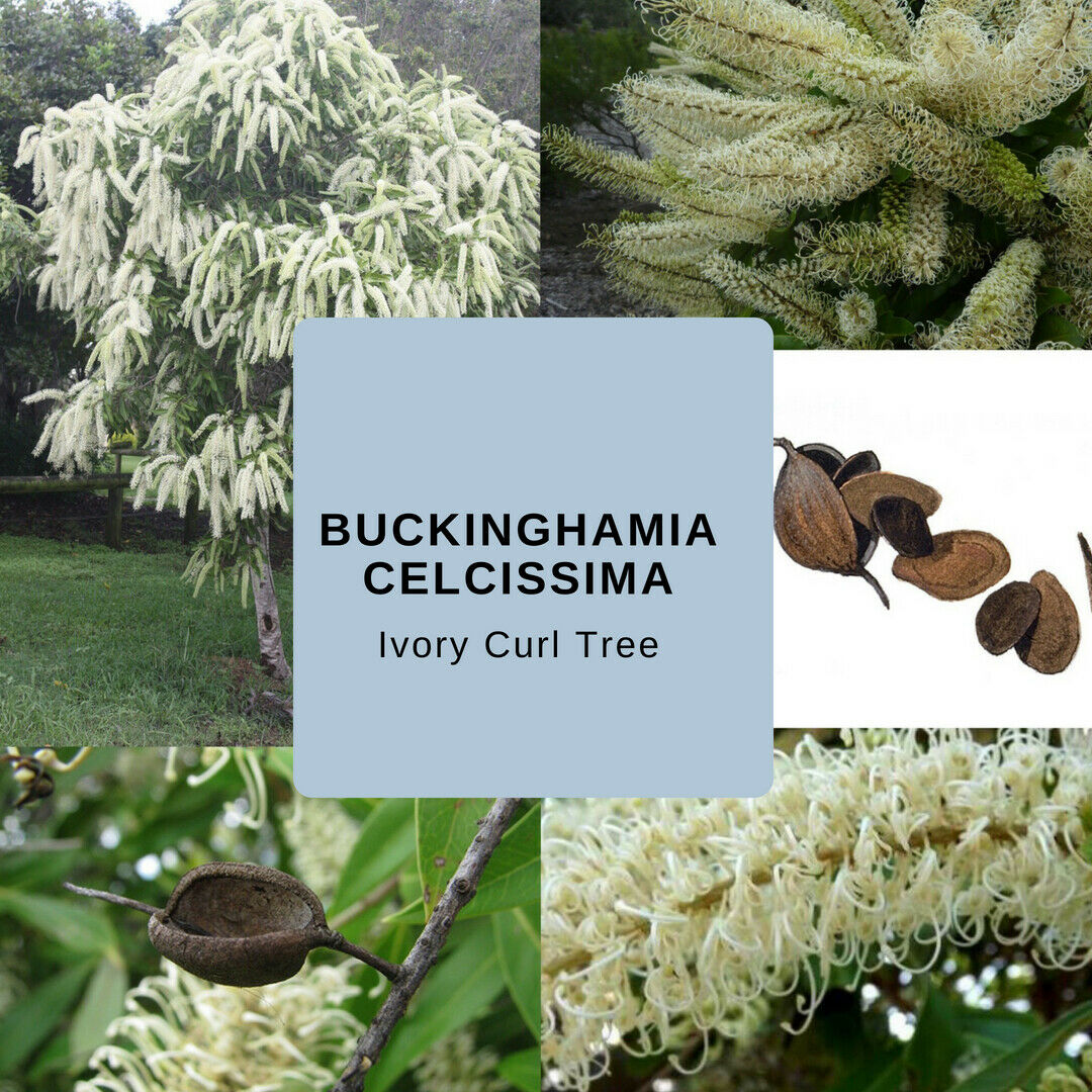 Buckinghamia Celcissima (Ivory Curl Tree) Seeds
