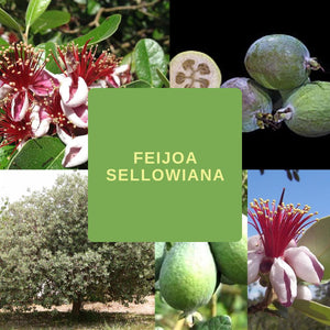 Feijoa Sellowiana (Pineapple Guava)-EDIBLES- 25 Seeds