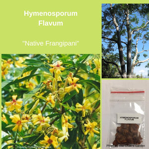 "Hymenosporum Flavum, ""Native Frangipani"" Seeds"