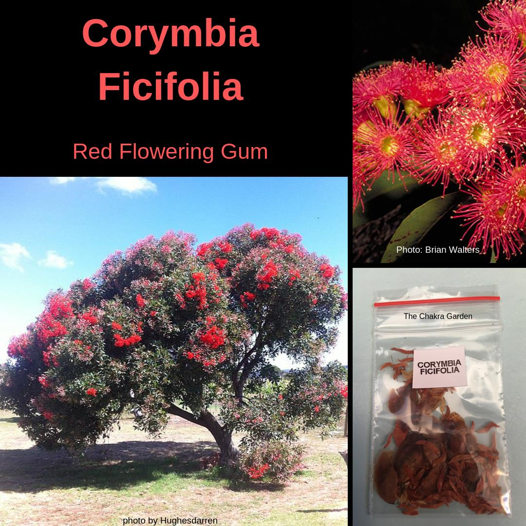"Corymbia Ficifolia ""Red Flowering Gum"" -25 Seeds (and husk)-Buy In Bulk"