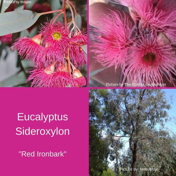 "Eucalyptus Sideroxylon Seeds ""Red Ironbark""...Buy In Bulk-seeds"