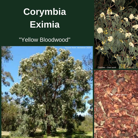 "Corymbia Eximia ""Yellow Bloodwood"" Seeds-Buy in Bulk (seed & husk)"