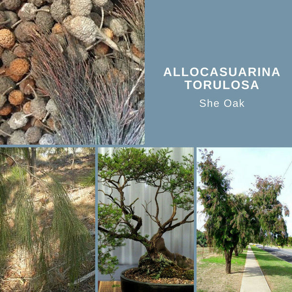 "Allocasuarina Torulosa ""Rose She Oak"" Seeds"