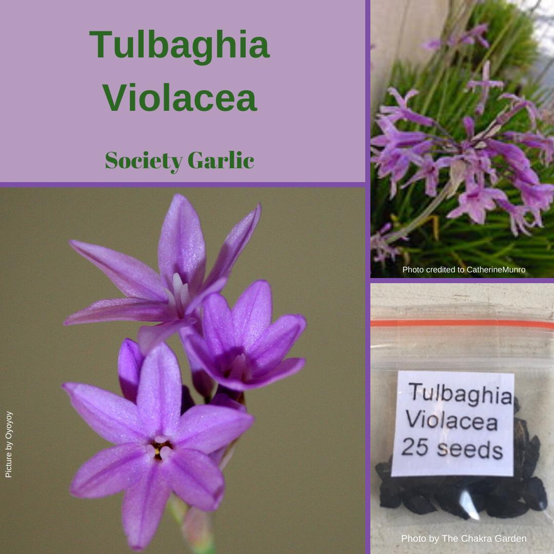 "Tulbaghia Violacea ""Society Garlic"" -EDIBLES-BUY IN BULK-Seeds"