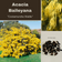 Acacia Baileyana 'Cootamundra Wattle'-TREE-buy in bulk-seeds