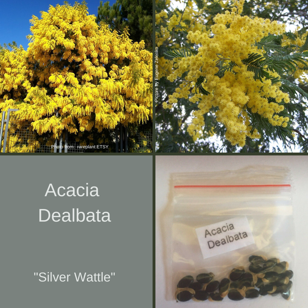 Acacia Dealbata (Silver Wattle) 25 Seeds-Buy In Bulk