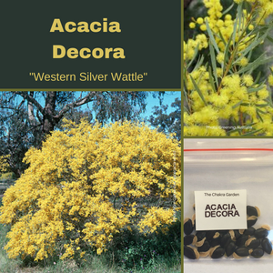 Acacia Decora-'Western Silver Wattle'-Buy In Bulk-seeds