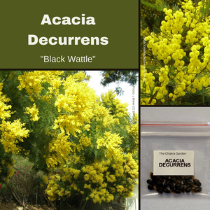 Acacia Decurrens-Black Wattle-BUSH TUCKA-25 seeds