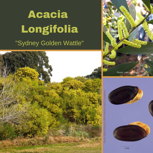 "Acacia Longifolia-""Sydney Golden Wattle""-TREE seeds-BUY IN BULK-seeds"