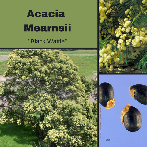 Acacia Mearnsii 'Black Wattle'-TREE seeds
