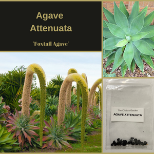 Agave Attenuata 'Foxtail Agave'-OTHER-Heart Chakra- 25 Seeds