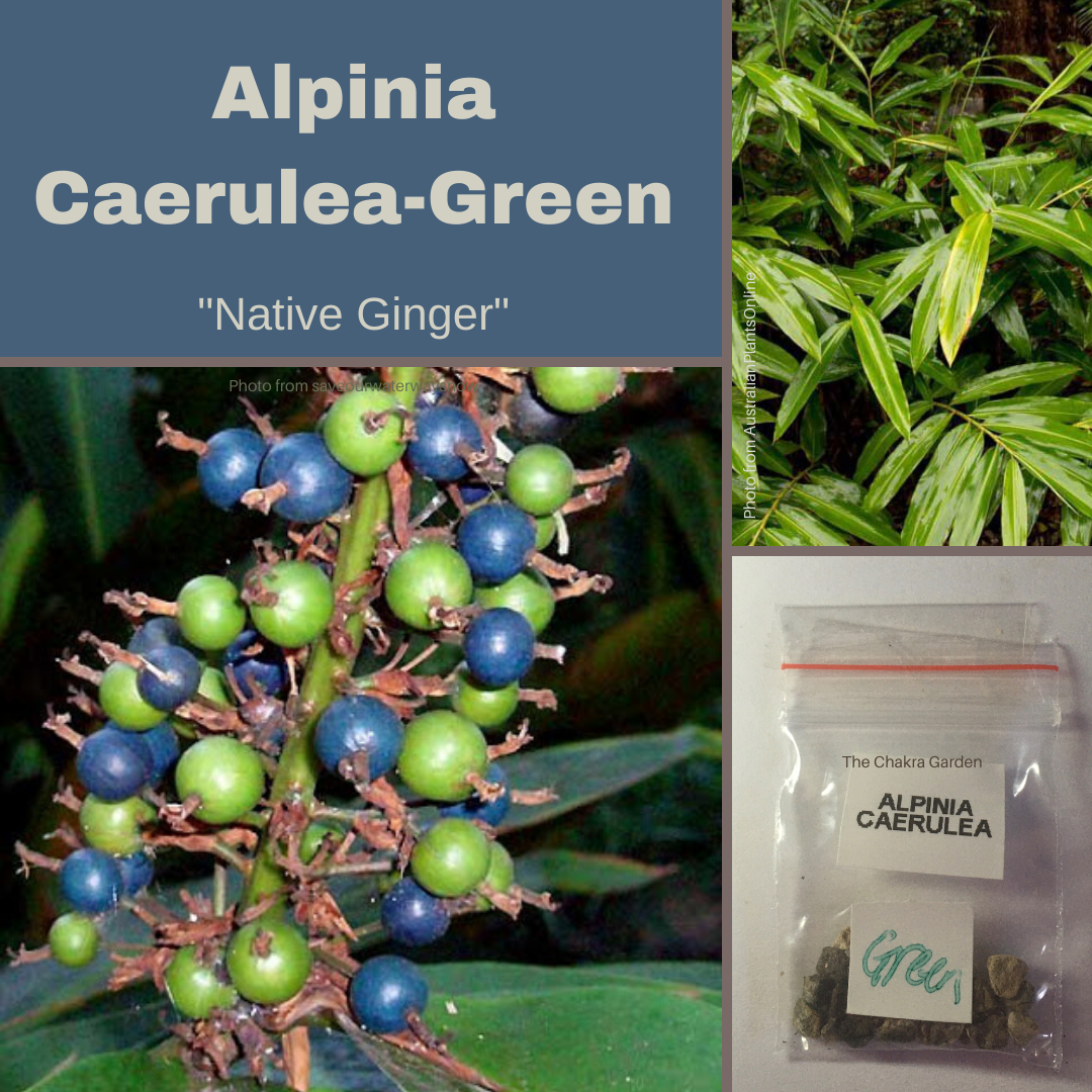 "Alpinia Caerulea - Green ""Native Ginger"" Seeds"