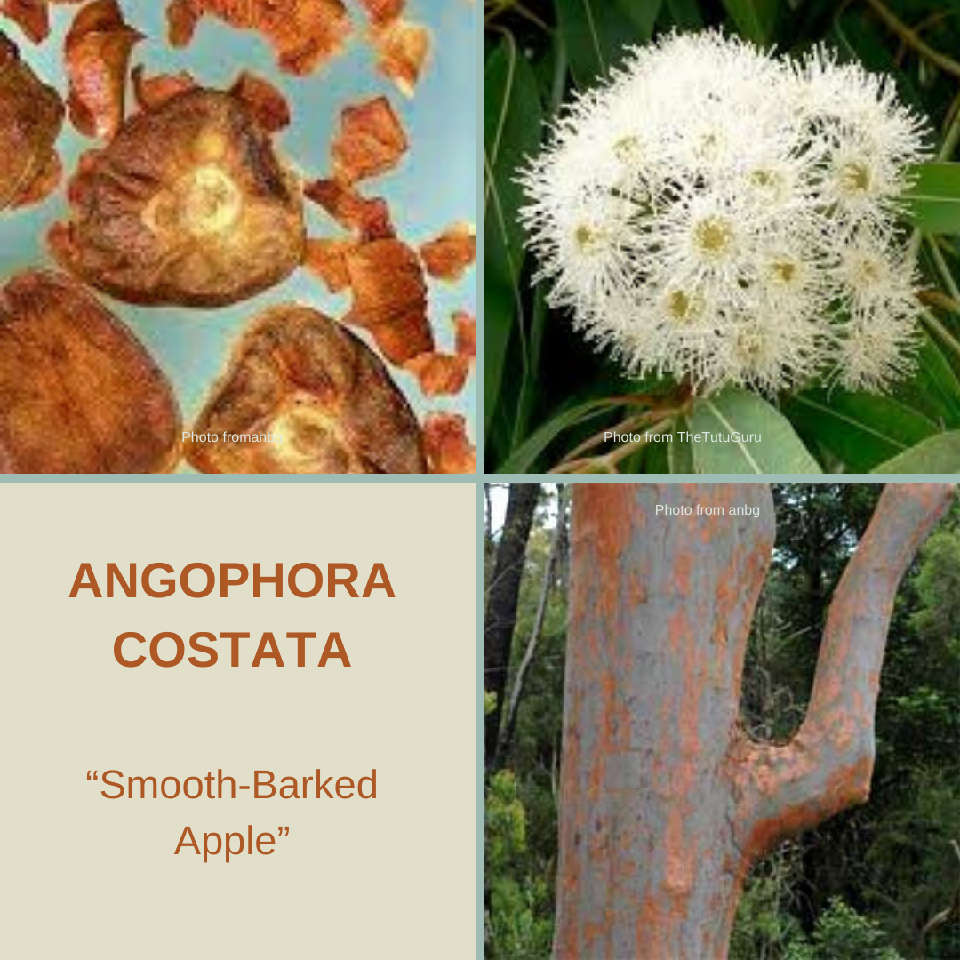 Angophora Costata-'Smooth Barked Apple'-TREE SEEDS-25 seeds