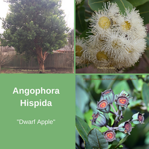 Angophora Hispida-'Dwarf Apple' -25 seeds
