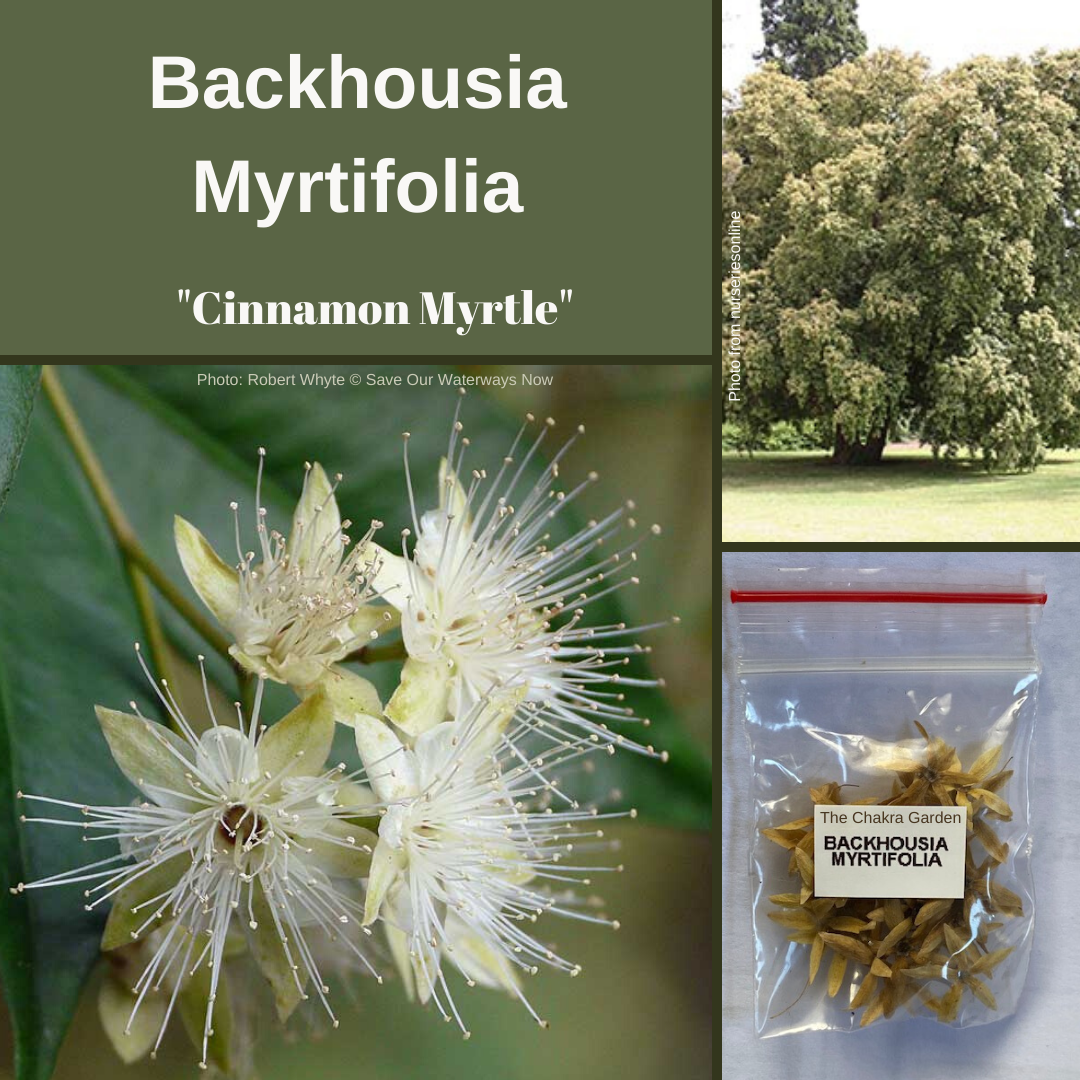 Backhousia Myrtifolia-'Cinnamon Myrtle'-BUSH TUCKA-25 seeds.