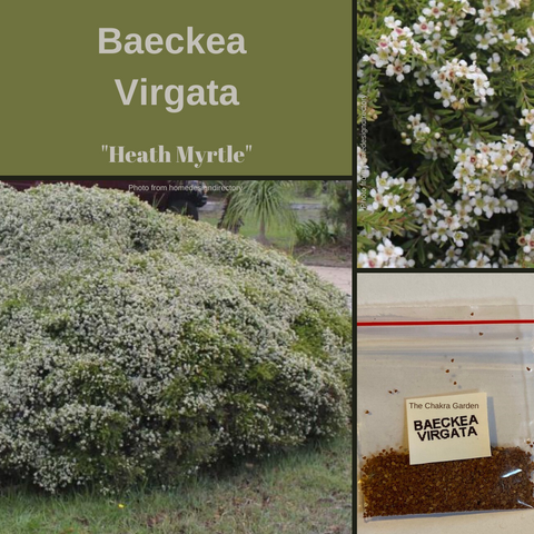 Baeckea Virgata Babingtonia-Heath Myrtle-250 seeds