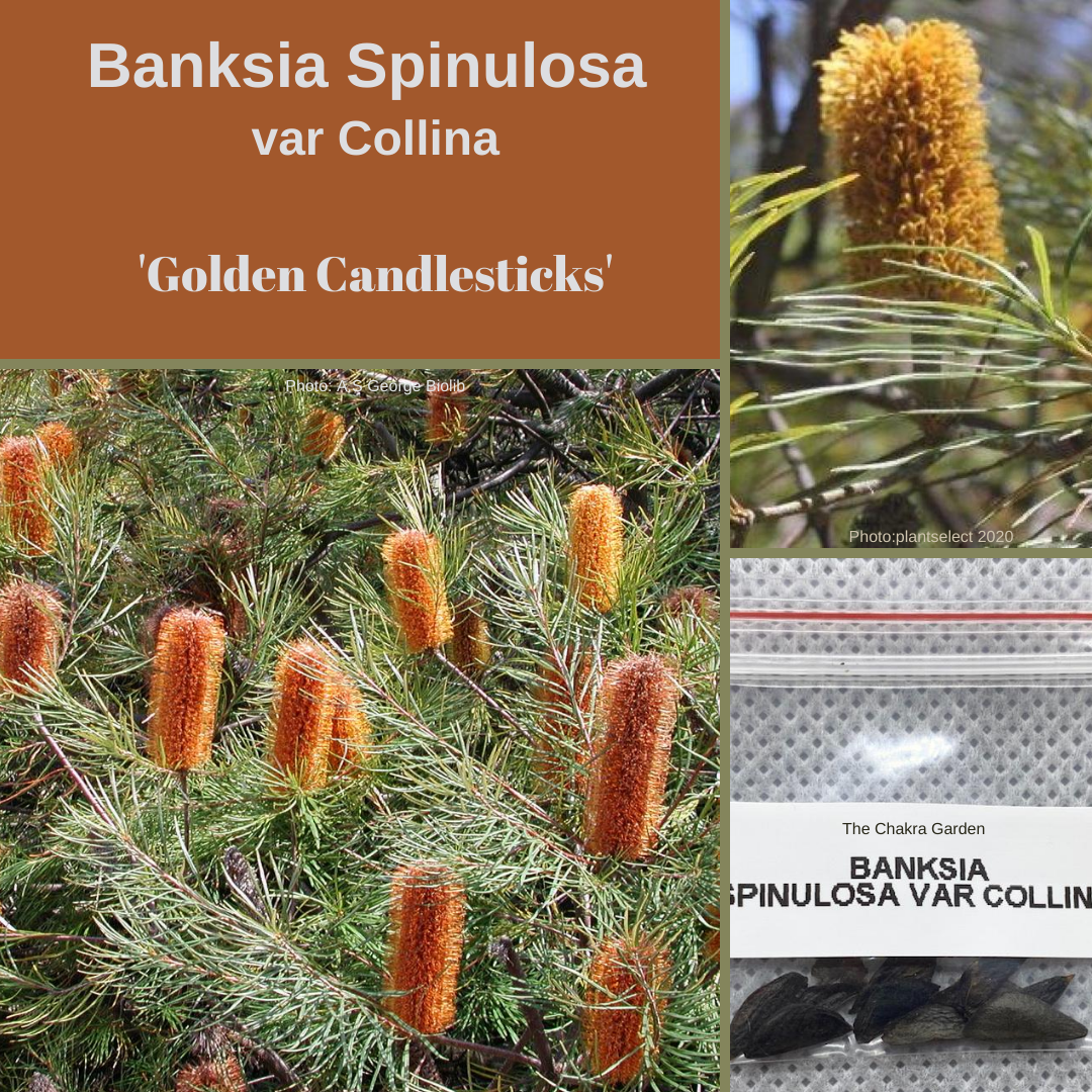 Banksia Spinulosa var Collina 'Golden Candlesticks'-NATIVE-10 Seeds