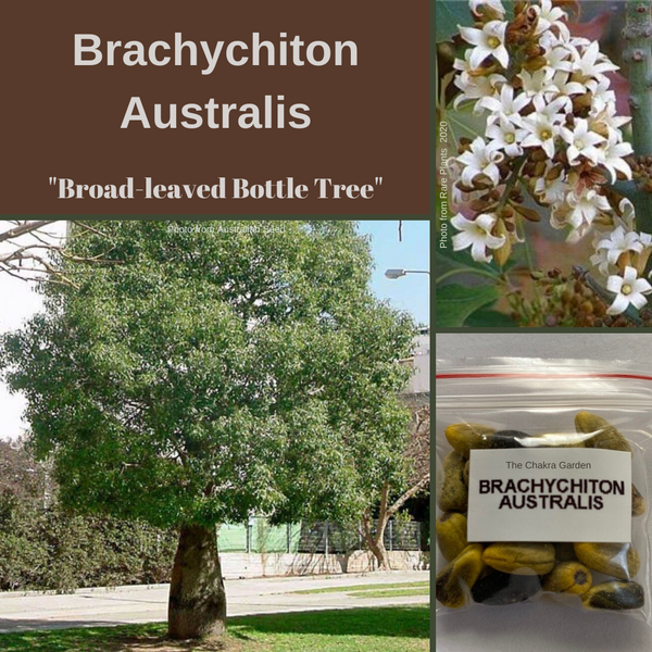 Brachychiton Australis-'Broad-Leaved Bottle Tree'-TREES-25 seeds