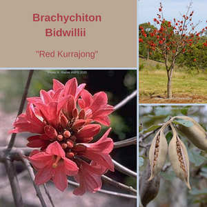 "Brachychiton Bidwillii ""Red Kurrajong"" -TREE-BUY IN BULK-Seeds"