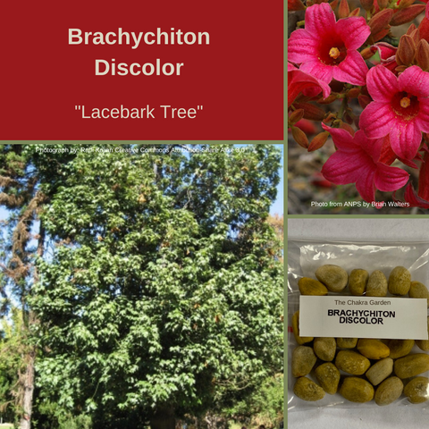 Brachychiton Discolor-Lacebark Tree-BUSH TUCKA-25 seeds