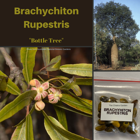 Brachychiton Rupestris-'Bottle Tree'-TREES-BUY IN BULK-seeds