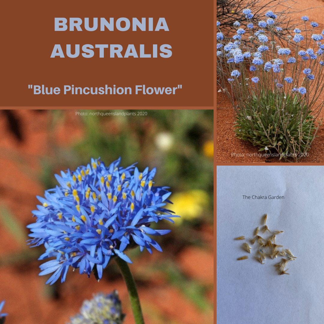 Brunonia Australis 'Blue Pincushion Flower'-25 Seeds-Native Flower Seeds