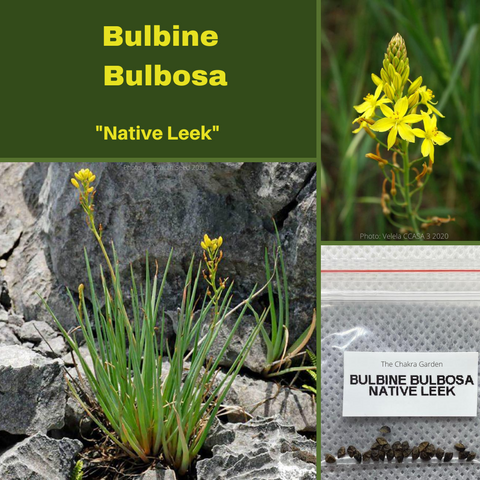Bulbine Bulbosa 'Native Leek'-BUSH TUCKA-25 seeds