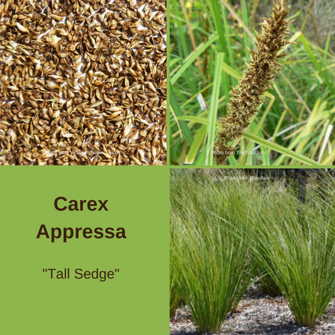 Carex Appressa 'Tall Sedge'-25 seeds-Buy In Bulk