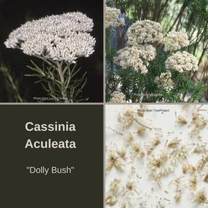 Cassinia Aculeata-'Dolly Bush'-10 grams seeds and florets