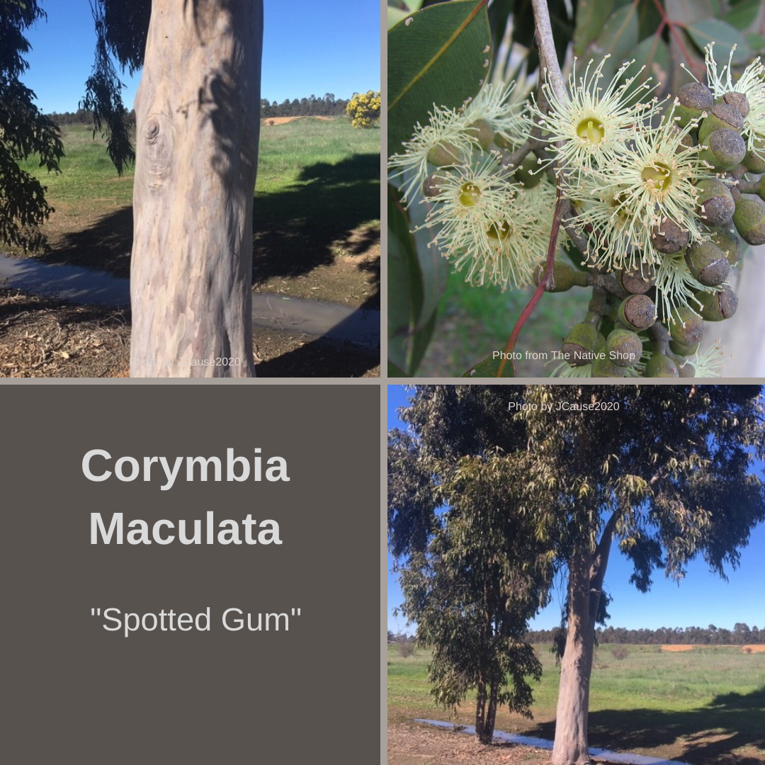 Corymbia Maculata-'Spotted Gum'-25 seeds AND husk-Buy In Bulk