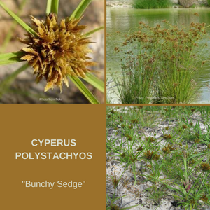 Cyperus Polystachyos 'Bunchy Sedge- 1000+ seeds-Buy In Bulk