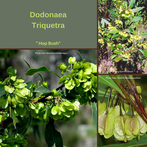 "Dodonaea Triquetra ""H0p Bush""-Buy In Bulk-seeds"