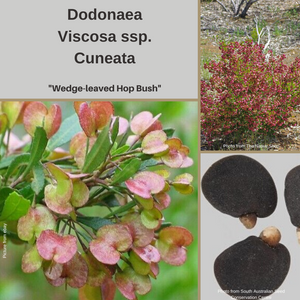 Dodonaea Viscosa ssp Cuneata-'Wedge-Leaved Hop Bush'-BUY IN BULK-seeds