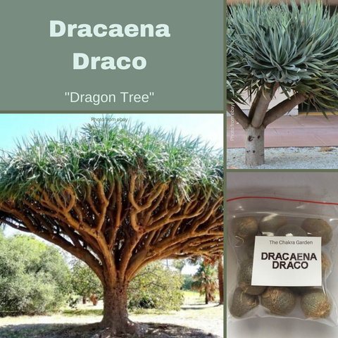Dracaena Draco (Dragon Tree)- 15 Seeds
